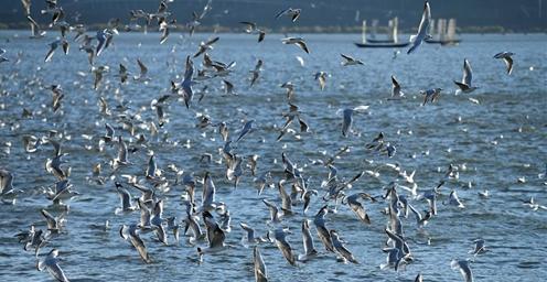 冬日昆明:越冬海鸥引人醉