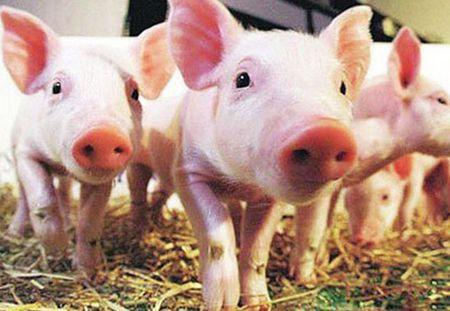 三部门:当前非洲猪瘟防控形势十分严峻 17省份已有发生