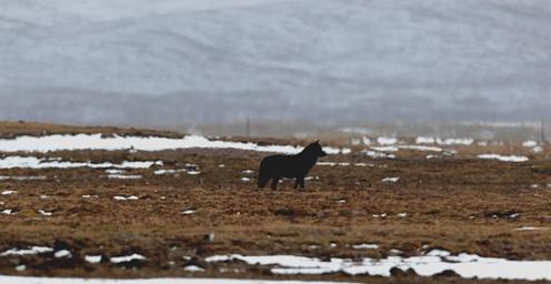 证实!三江源国家公园首次拍摄到黑狼活动影像