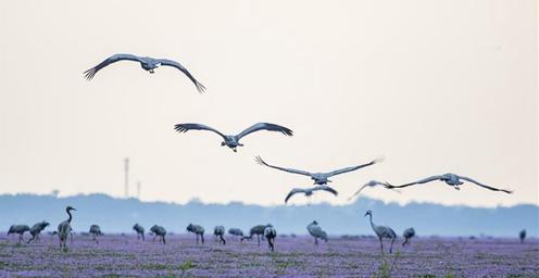 鄱阳湖:候鸟越冬
