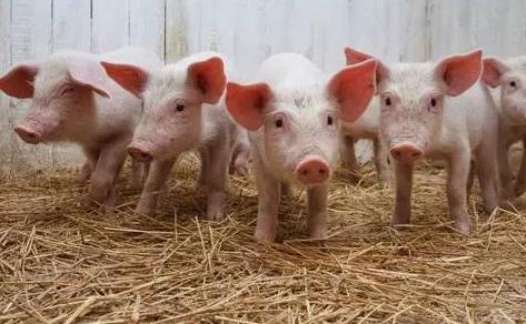 备案监管 河南跨省县调运生猪车辆需配备定位系统
