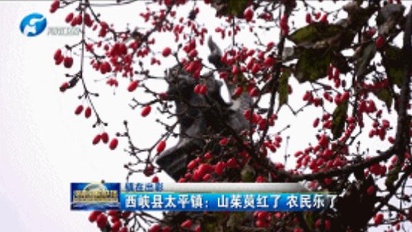 西峡县太平镇:山茱萸红了 农家乐火了