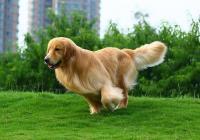 金毛犬将一女子撞成九级伤残 狗的主人被判赔偿12万