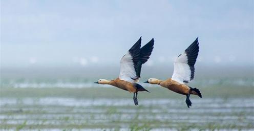 鄱阳湖湿地:候鸟的乐园
