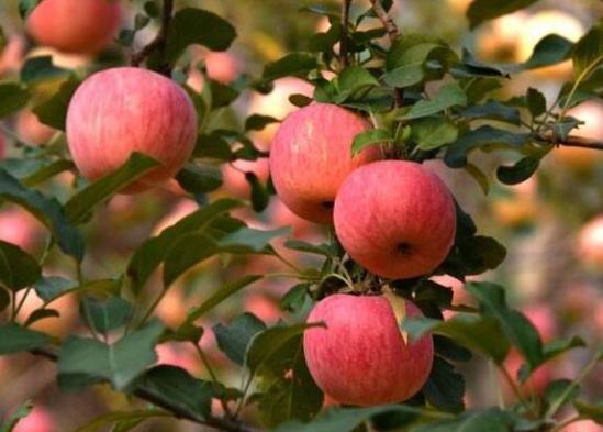 第十九届中国绿色食品博览会举行 灵宝市金苹果成亮点