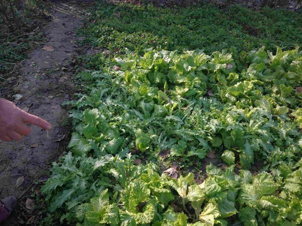邓州公安局:六旬老汉种植罂粟幼苗883株被刑拘
