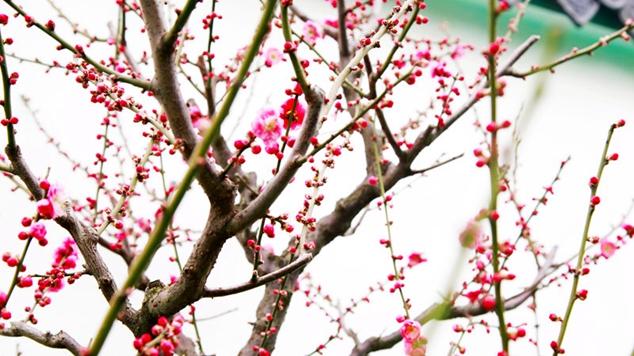 鄢陵:各色梅花争相开放 造型各异