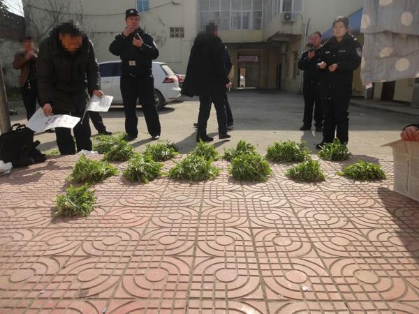 邓州:农妇非法种植1200余株罂粟被刑拘