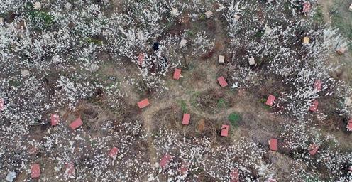贵州赫章:气温回升 樱桃竞相盛开