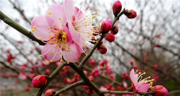 开封:红梅花开迎春来