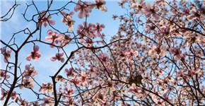 河南鲁山:辛夷如雪问春风