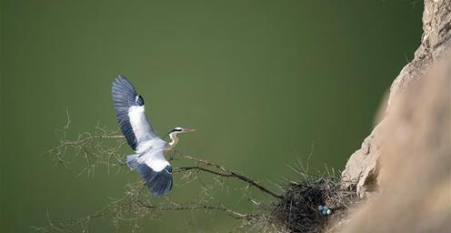 崖壁上筑巢孵卵、飞舞嬉戏 数百只苍鹭乐享春光