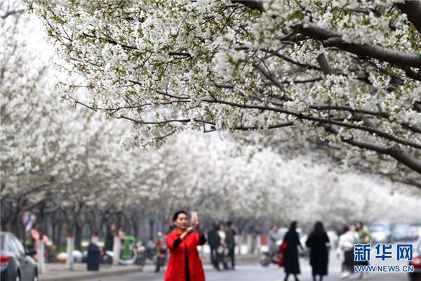 许昌学院:这里的樱花更浪漫