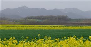 驻马店驿城区蚁蜂镇鲁湾村 千亩油菜花令人惊艳