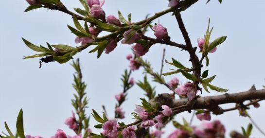 周口:西华县第15届桃花节开幕 桃园生态马拉松开跑