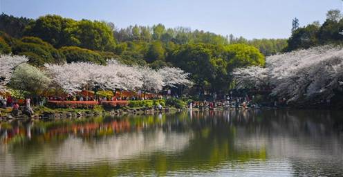樱花怒放春满园