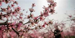 河南宝丰:桃花绽放满园春色