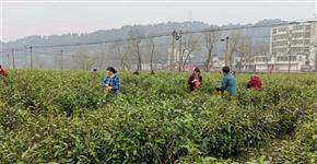 又到春茶飘香时 新县30万亩茶园进入采摘期