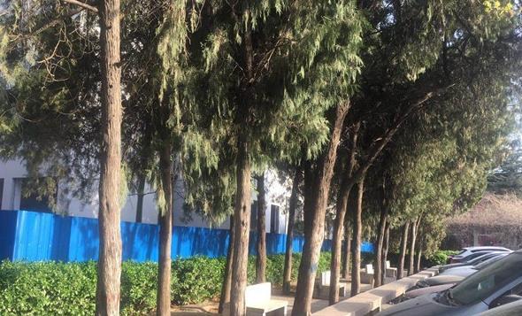 能保证成活的快来认领!郑州一学校18株30年的柏树免费送