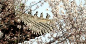 河南鄢陵:樱花盛开 如云似雪醉游人