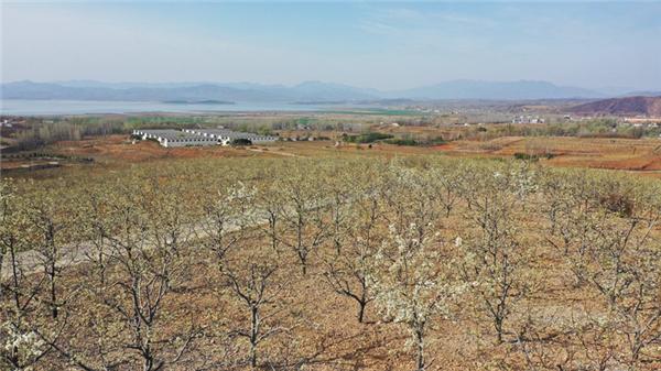 河南鲁山:荒地刨出金疙瘩 梨花香里话脱贫