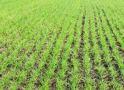 河南建安区近三千亩麦苗枯死 专家:系草甘膦药害引起
