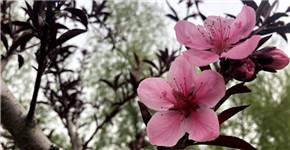 河南扶沟万株樱花竞相开放 第五届樱花节启动