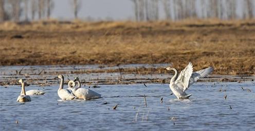 黄河浅滩迎天鹅 成当地一景