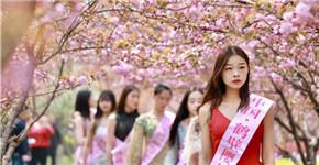 河南鹤壁:樱花绽放迎游人