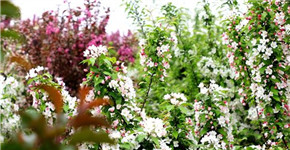 信阳平桥区百亩海棠花盛开 十里春风脱贫路