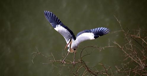 春日里 数百只苍鹭在山西平陆黄河湿地筑巢安家