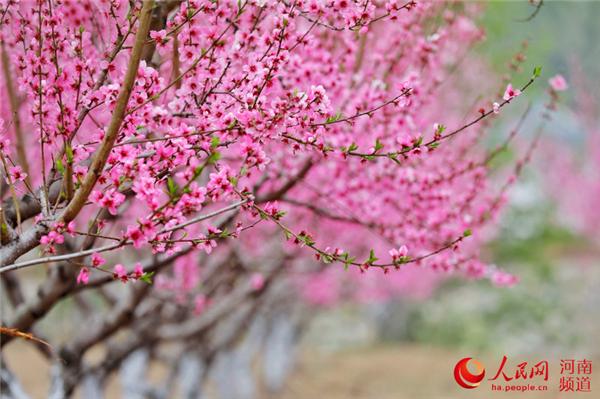 河南栾川:栽下桃花树 走上致富路