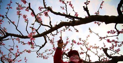 万亩桃树进入盛花期 桃花园里授粉忙