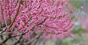 河南栾川:十里桃花开 粉面笑春风