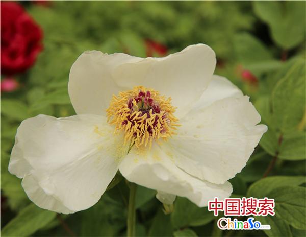 河南洛阳:倾城颜色向春开 花冠牡丹待君来