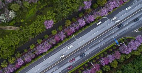 广西柳州:大雨过后 27万株洋紫荆更娇艳了