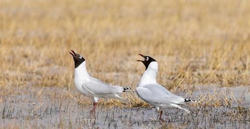 湿地治理初显成效!大批遗鸥重返鄂尔多斯