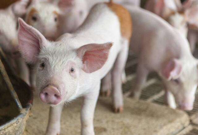 农业农村部:生猪产能持续下滑 猪肉价格可能明显上涨