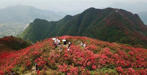 暮春时节 映山红红遍山岭