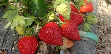 新县:创业带富显本色 草莓园里话幸福